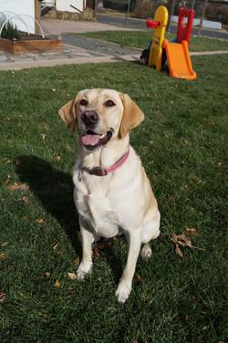 Labrador Retriever waiting to fetch