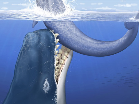 GIANT WHALE-EATING WHALE FOUND WITH TEETH OVER A FOOT LONG