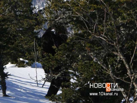 BIGFOOT PHOTOGRAPHED IN RUSSIA?!