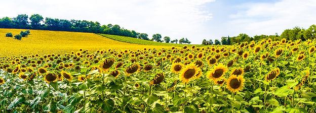 Sunflowers - Italy