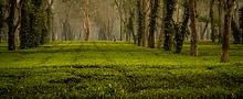 Tea estates of Assam