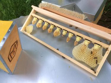 Zuchtlatte mit schlupfreifen Königinnenzellen