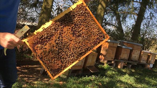 Brutbrett, Buckfast Zürich, Buckfast Bees, angepasster Brutraum