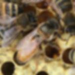 Buckfast, Quenbee, Bienekönigin, Buckfast Königin