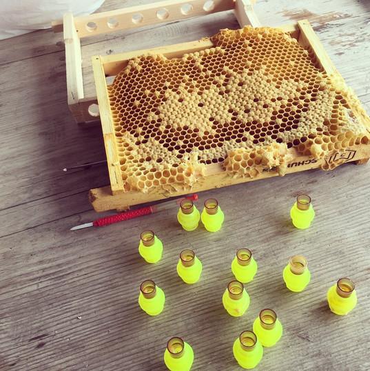 Zuchtstoff zum umlarven in vorbereitete Weiselnäpfchen
