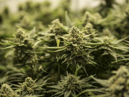 Final Medicinal Cannabis Scheme released
