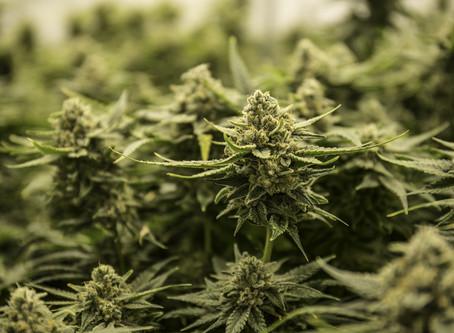 2020 cannabis referendum announcement, Wednesday