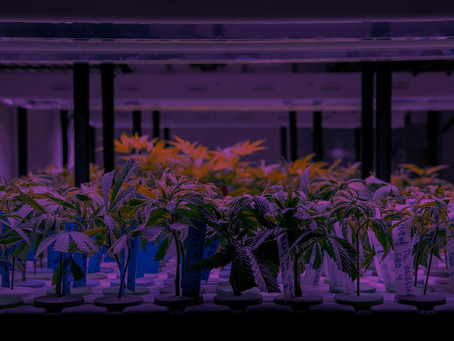 MBIE funding welcome news for medicinal cannabis company, Helius
