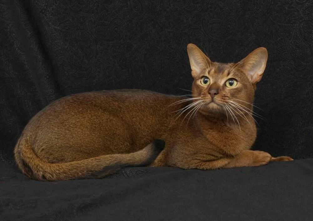 Abyssinian Cat Cinnamon
