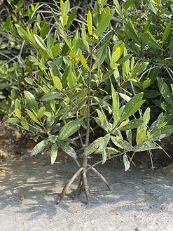 Mangrove Cement.HEIC