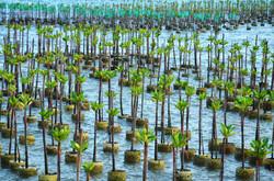 Mangrove Pots