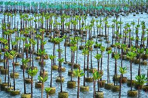 Mangrove Pots.jpg
