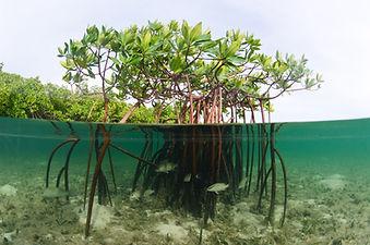 Mangroves Underwater.jpg