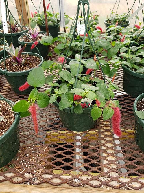 Chenille Acalypha pendula (8 inch hanging basket)