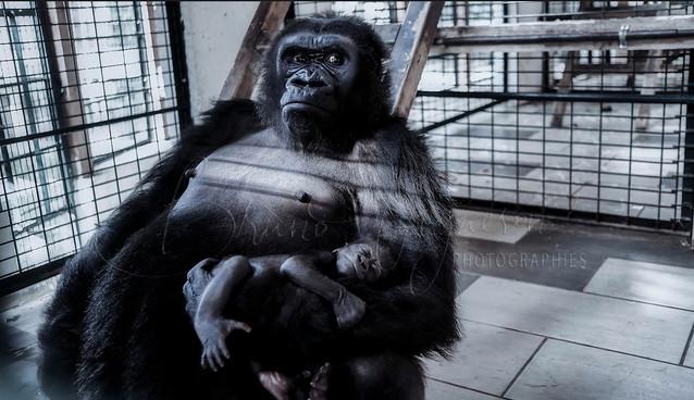 Naissance d'un gorille
