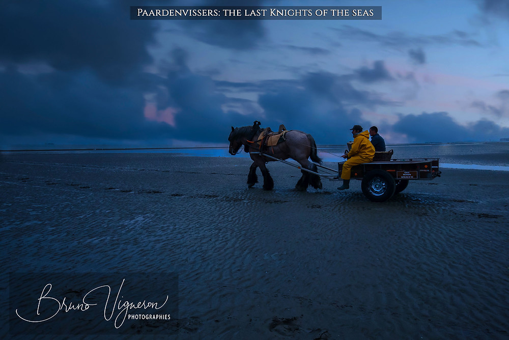 Paardenvissers come back from shrimp fishing on horseback