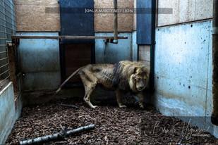Jon martyred lion