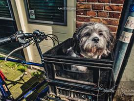 Amsterdam - The wild dog