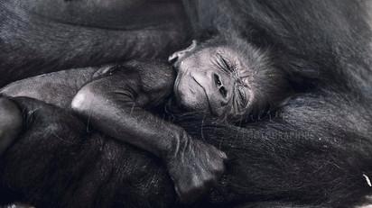 Naissance Gorille