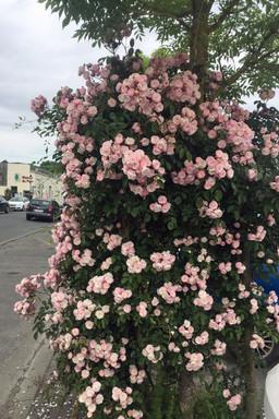 Roses in the village/ Roses dans la village