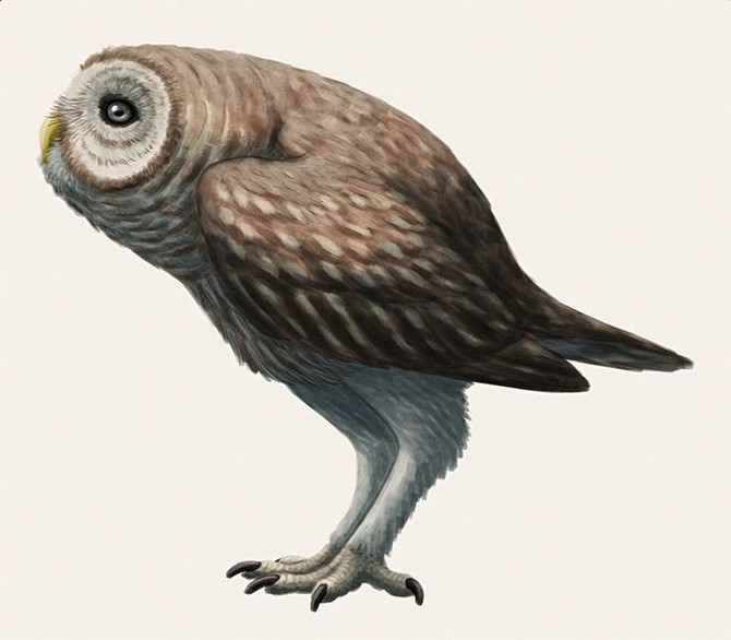 Owls and Hawai'i: The Gallistrix genus, the Pueo and the Barn Owl