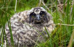 Pueo Owlet