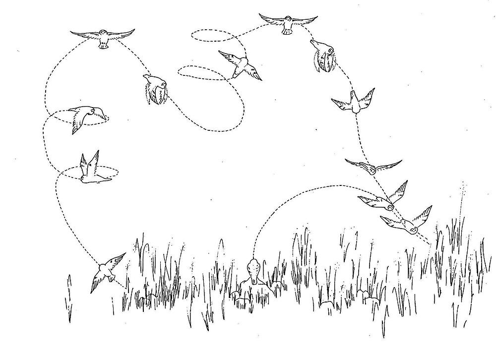 Courtship flight display of male Short-eared Owl (Wiggins et al. 2006).