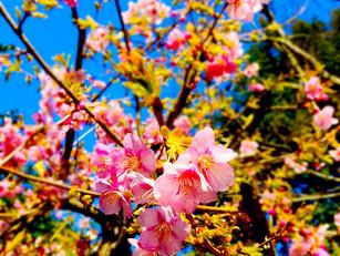 日々響の庭の桜