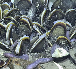 Chemosynthetic mussel bed with sea cucumbers.