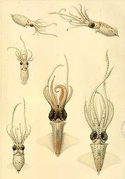 Chun squid.jpg