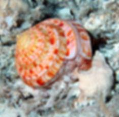 The slit snail, Entemnotrochus adansonianus, feeding on a sponge.