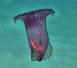 Enypniastes Dive 2 1 Dec 2017 EX1711.jpg