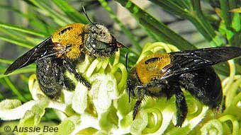 Native Bees