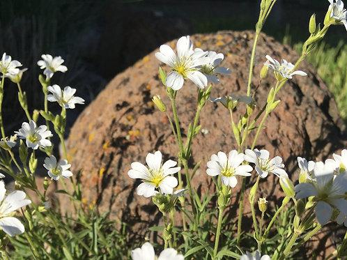 Cerastium arvense, Field Chickweed