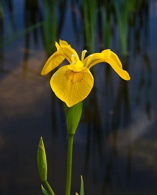 YellowFlagIris_shutterstock_91818272_cro