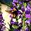Thumbnail: Penstemon strictus, Rocky Mountain Penstemon