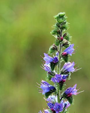 Blueweed.jpg