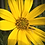 Thumbnail: Helianthus maximiliani, Maximilian Sunflower