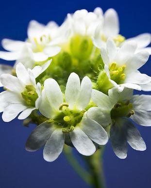 HoaryAlyssum_Shutterstock.jpg