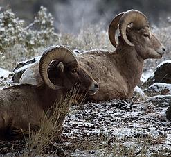 bighorn-sheep-1491526452T2Z.jpg