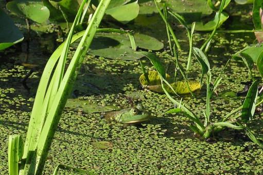 frog by  Cynda Fleming