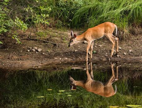 Deer by water.jpg