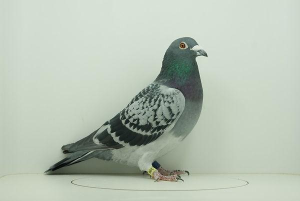 Lovelock Cock 296 (Custom).jpg