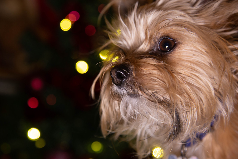 Teacup yorkie in front of a christmas tree