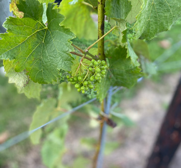 Those are going to be yummy wine soon!