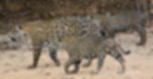 Jaguars Family | Pantanal Trackers Tours
