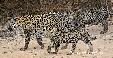 Jaguars Family   Pantanal Trackers Tours