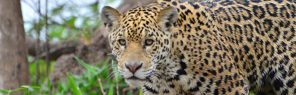 Jaguar Close-up | Pantanal Trackers Tours