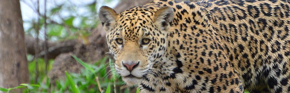 Jaguar Close-up | Pantanal Trackers Tours