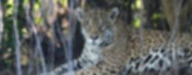 Jaguar Photo | Pantanal Trackers Tours